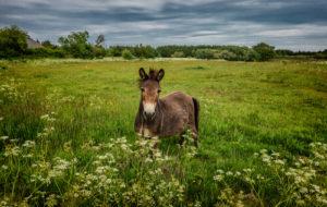 Mule in field