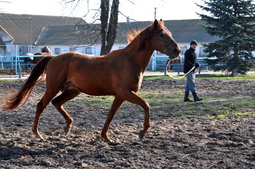 horse training in arena